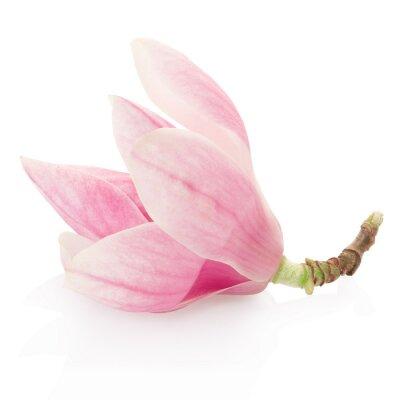 Bild Magnolia, rosa Frühlingsblume auf weiß, Clipping-Pfad
