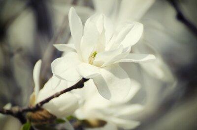 Bild Magnolia weißen Blüten