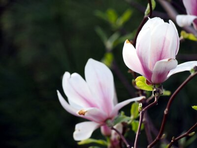 Bild Magnolia x soulangeana 'Alexandrina'