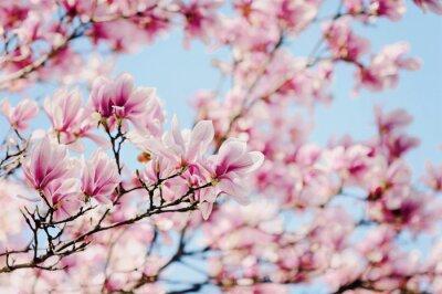 Bild Magnolien
