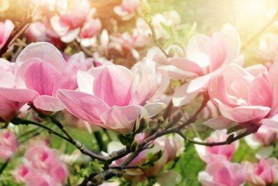 Bild Magnolienbaum Blüte