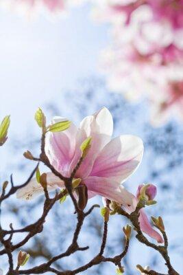 Bild Magnolienblüte