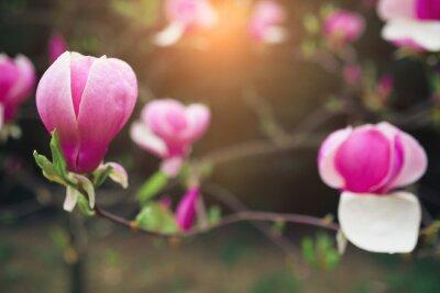 Bild Magnolienblüten