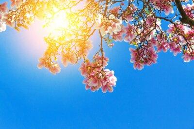 Bild Magnolienblüten in der sonne