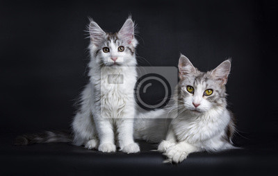 Maine Coon Mutter und Kind Katze / Kätzchen isoliert auf blacj Hintergrund