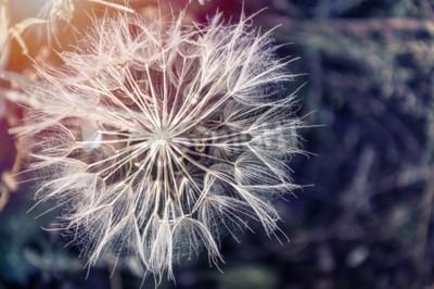 Bild Makro-Bild von großen schönen Löwenzahn. Kleine Schärfentiefe. Kreativer Vintage-Filter, Retro-Effekt