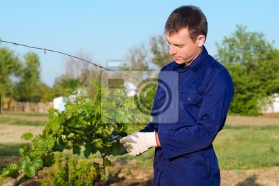Männlich Landwirt binden Traube