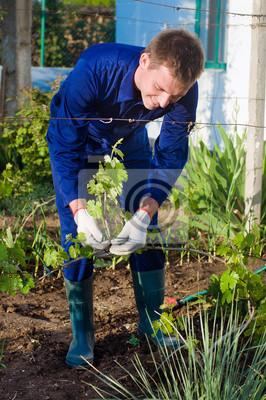 Männlich Landwirt binden Trauben Zweige