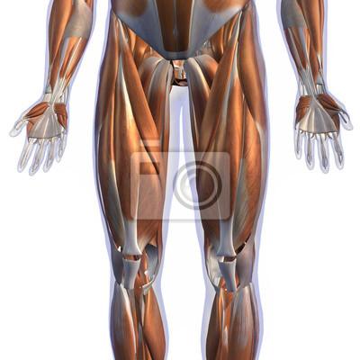 Männliche bein-muskel-front nicht-genitale ansicht über weiß ...