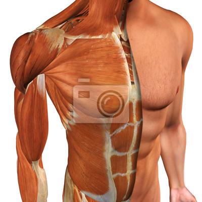 Männliche brust muskeln draufsicht mit cut-away haut-schicht ...