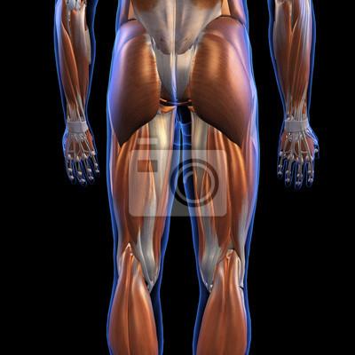 Männliche hintere beinmuskeln auf schwarzem leinwandbilder • bilder ...