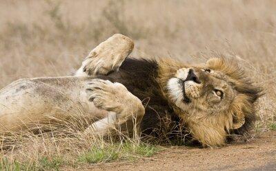 Bild männliche Löwe liegend in den Busch, Kruger, Südafrika