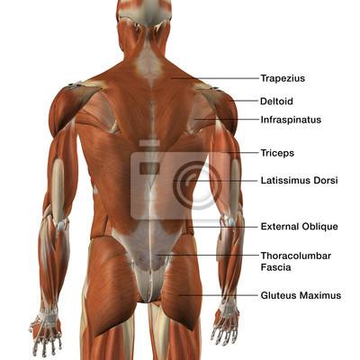 Männliche rücken muskel-diagramm leinwandbilder • bilder medicals ...