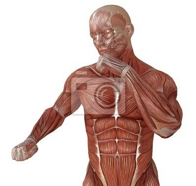 Männlicher körper ohne haut, anatomie und die illustration der ...