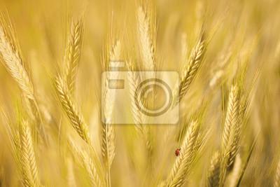Marienkäfer auf goldenen Gerste