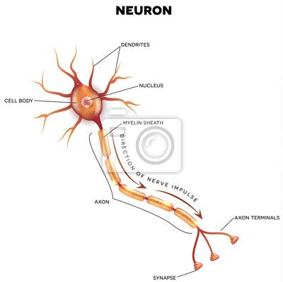 Markiertes diagramm des neurons leinwandbilder • bilder Synapsen ...