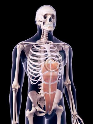 Medizinisch genaue darstellung des m. rectus abdominis ...