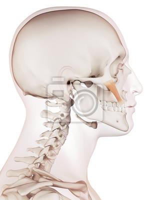 Medizinisch genaue muskel darstellung der zygomaticus haupt ...