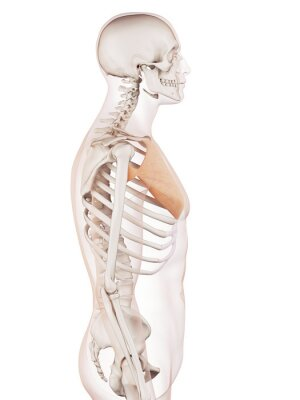 Medizinisch genaue muskel darstellung des brusthaupt leinwandbilder ...