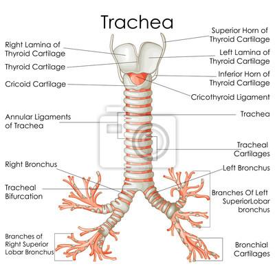 Medizinische ausbildung diagramm der biologie für trachea diagramm ...