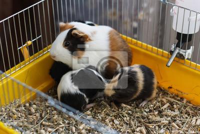 meerschweinchen mit jungen in einem k fig leinwandbilder bilder meerschweinchen. Black Bedroom Furniture Sets. Home Design Ideas