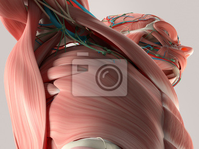 Menschliche anatomie detail der brust und schulter. muskel, arterien ...