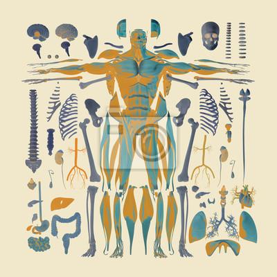 Menschliche anatomie flachen lay illustration der körperteile ...