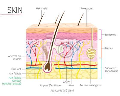 Menschliche anatomie, haut und haar diagramm, integumentary system ...