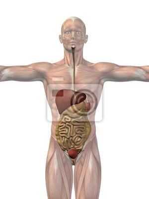 Menschliche anatomie körper organe leinwandbilder • bilder Anhang ...