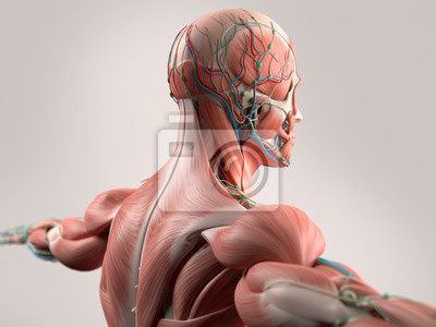 Menschliche anatomie mit gesicht, kopf, schultern und rücken ...