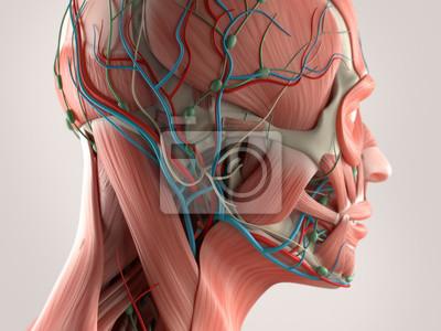Menschliche anatomie mit gesicht und kopf muskel-system ...