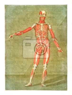 Menschliche anatomie. muskeln und knochen. männlicher körper ...
