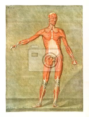 Menschliche anatomie. muskeln und sehnen. männlicher körper ...