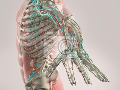 Menschliche anatomie röntgenbild zeigt skelett-, muskel-und ...