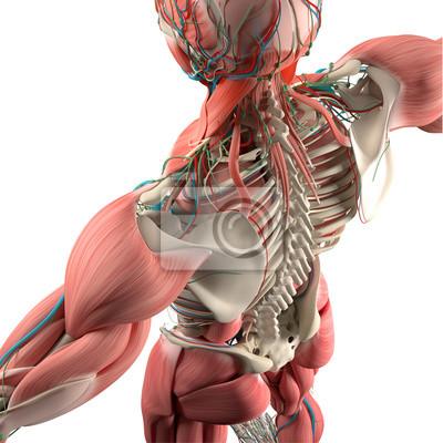 Menschliche anatomie, rücken, oberkörper, skelett, muskel. hoher ...