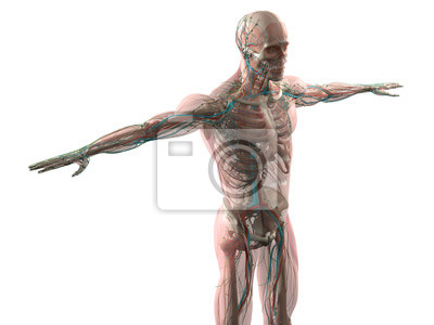 Menschliche anatomie seitenansicht des torsos. gefäßsystem und ...