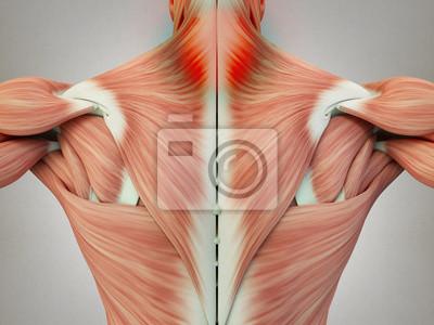 Menschliche anatomie torso rückenmuskulatur, schmerzen im ...