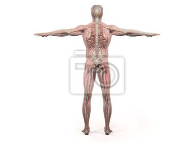 Menschliche anatomie zeigt rücken voller körper, kopf, schultern ...