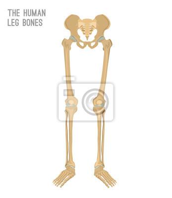 Menschliche beinknochen leinwandbilder • bilder Kreuzbein, Fibula ...