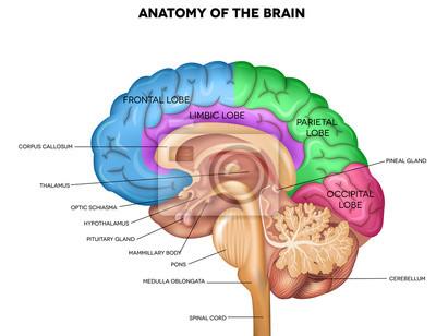 Menschliche gehirn anatomie leinwandbilder • bilder Drüse ...