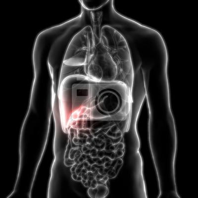 Menschliche körperorgane anatomie (gallenblase) leinwandbilder ...