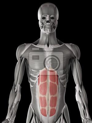 Menschliche muskelanatomie - gerade bauch leinwandbilder • bilder ...