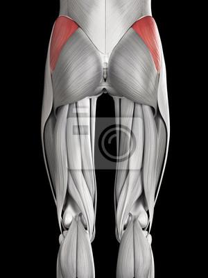 Menschliche muskelanatomie - gluteus medius leinwandbilder • bilder ...