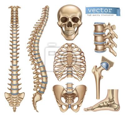 Menschliche skelettstruktur. schädel, wirbelsäule, brustkorb ...