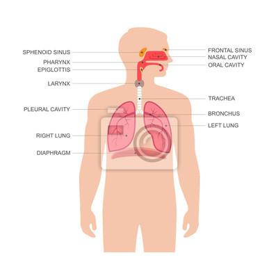 Menschlichen atemwege anatomie, vektor medizinische nase ...