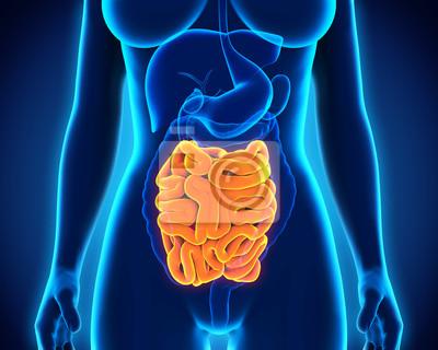 Menschlicher dünndarm anatomie leinwandbilder • bilder Magen ...