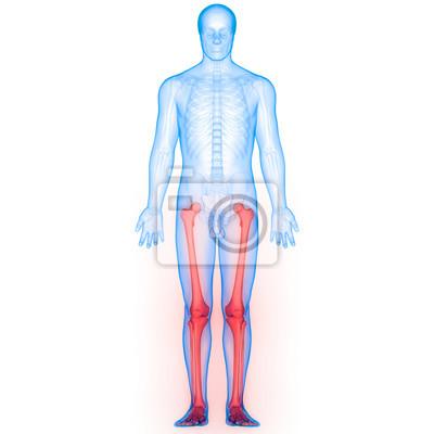 Menschlicher körper knochen gelenk schmerzen anatomie (bein gelenke ...
