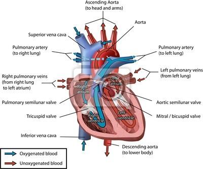 Menschliches herz blutkreislauf vector illustration leinwandbilder ...