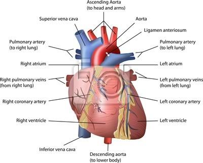 Menschliches herz vektor leinwandbilder • bilder pulmonalen, Atrium ...