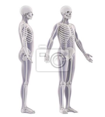 Menschliches skelett anatomie isoliert leinwandbilder • bilder ...
